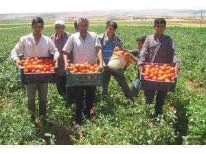 Araban'da yerli domates hasadı başladı