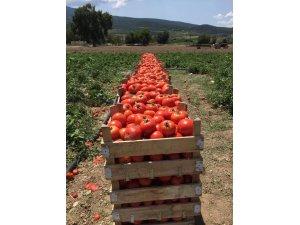 Sakarya'da domates hasadı yüz güldürdü
