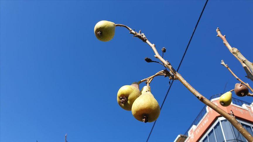 Armut ağacı kışın meyve verdi