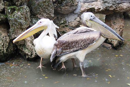 Beyşehir Gölü'nün konuğu iki pelikan ilgi odağı oldu