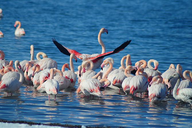 İvriz Baraj Gölü'nde 12 flamingo öldü