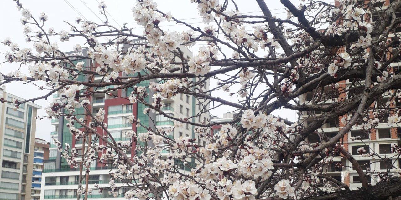 Konya'da kayısı ağaçları çiçek açtı!