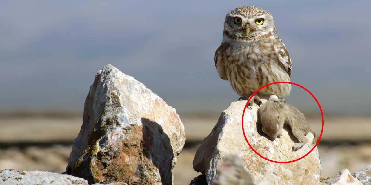Konya'da baykuşun avı görüntülendi