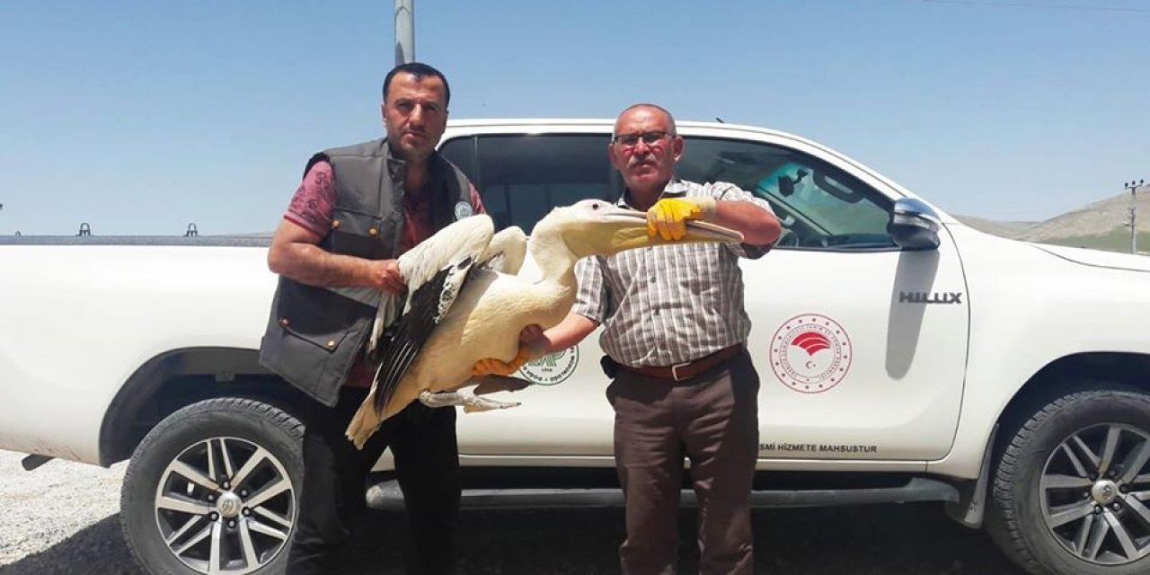 Konya'da bulunan yaralı pelikan koruma altınd