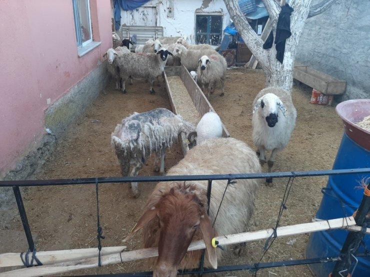 Ankara jandarması çalınan hayvanları Konya'da buldu