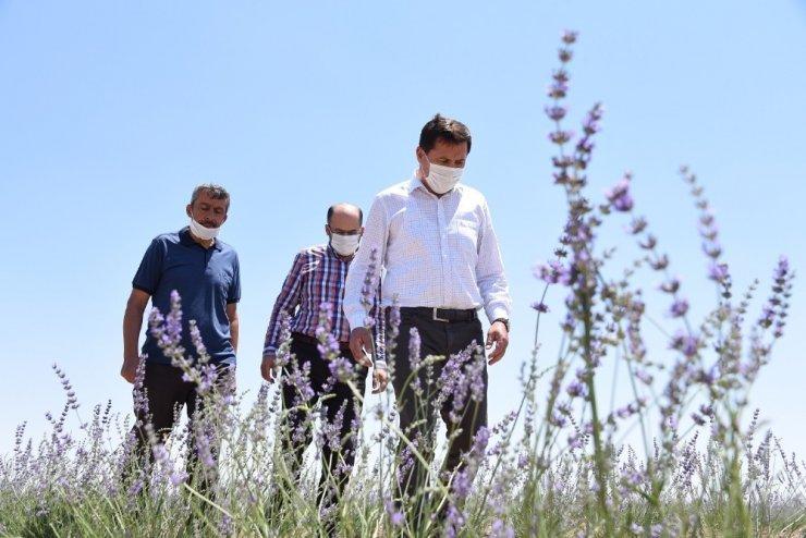 Konya Karatay Belediye Başkanı Hasan Kılca kendi elleriyle hasat yaptı