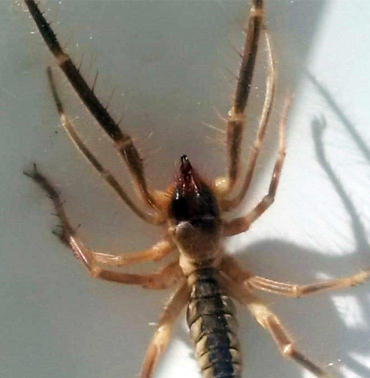 Konya'da et yiyen örümcek alarmı! Sık görülmeye başlandı