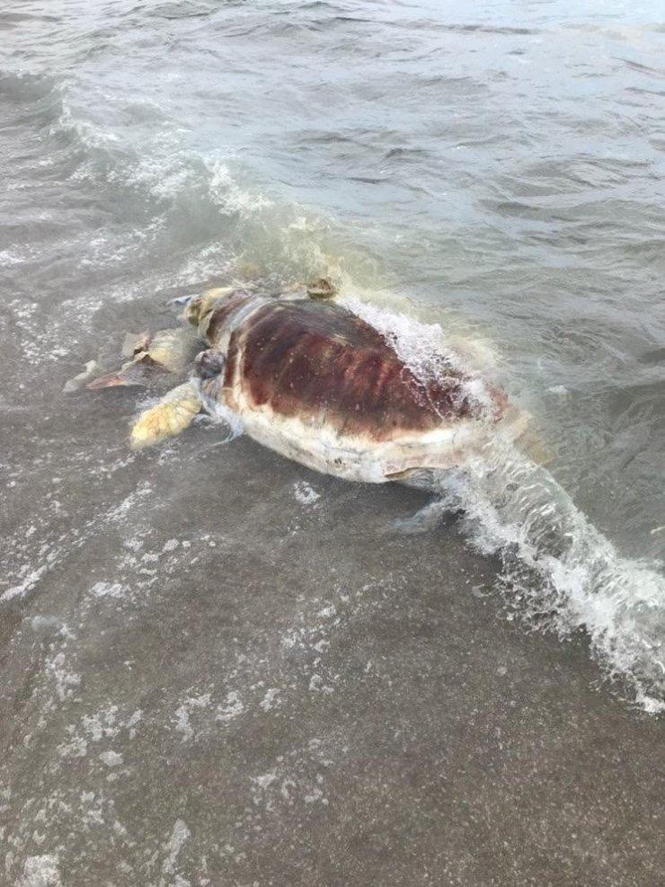 Kemer'de sahile ölü caretta caretta vurdu