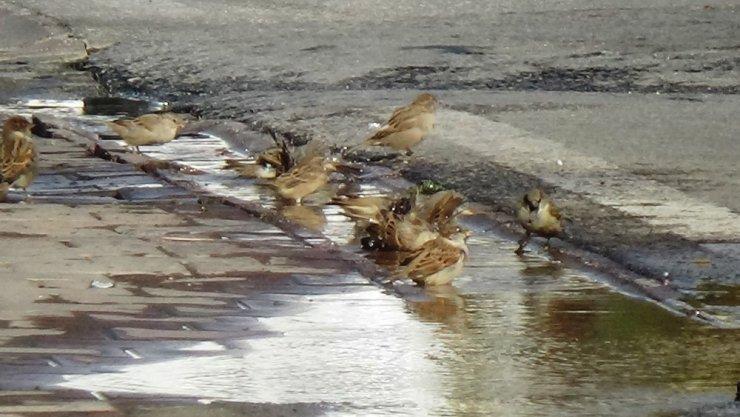Patlayan su borusunu fırsat bilen kuşların keyfi