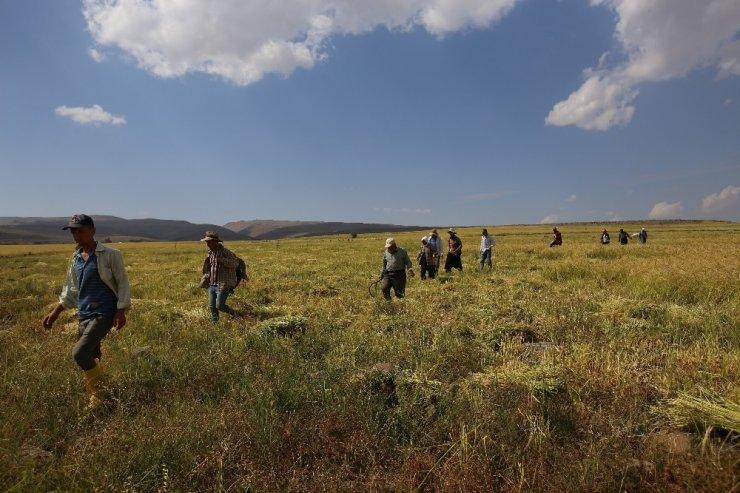 Karacadağ pirinç hasadı fotoğraflandı