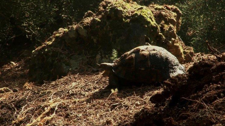 Kundaklanan ormanda mahsur kalan kaplumbağanın yardım çığlığı