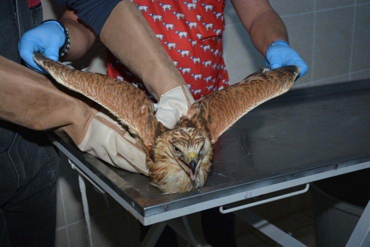Yaralı şahin tedavisinin ardından doğaya bırakıldı